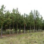 Bosque de Pinos que alberga en sus raices cultivos de hongos