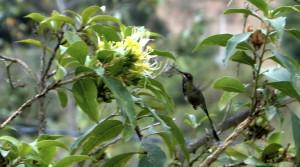 El Colibrí Cola de Espátula o Colibrí Maravilloso, una de las especies mas raras y que seguramente será de las mas valoradas. Solo está en Amazonas